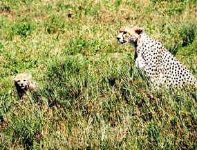 cheetah with cub savannah