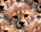 cheetah cub face