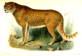 desert cheetah