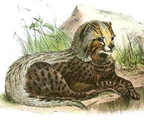 Old drawing of cheetah