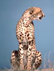 sitting gepard