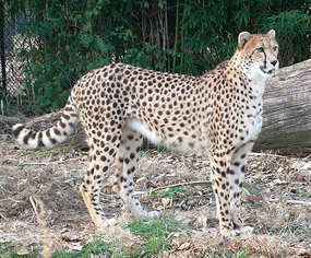 gepard cheetah pictures