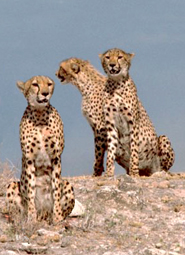 Three cheetahs pictures