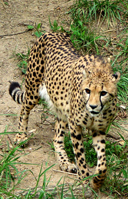 cheetah picture walking