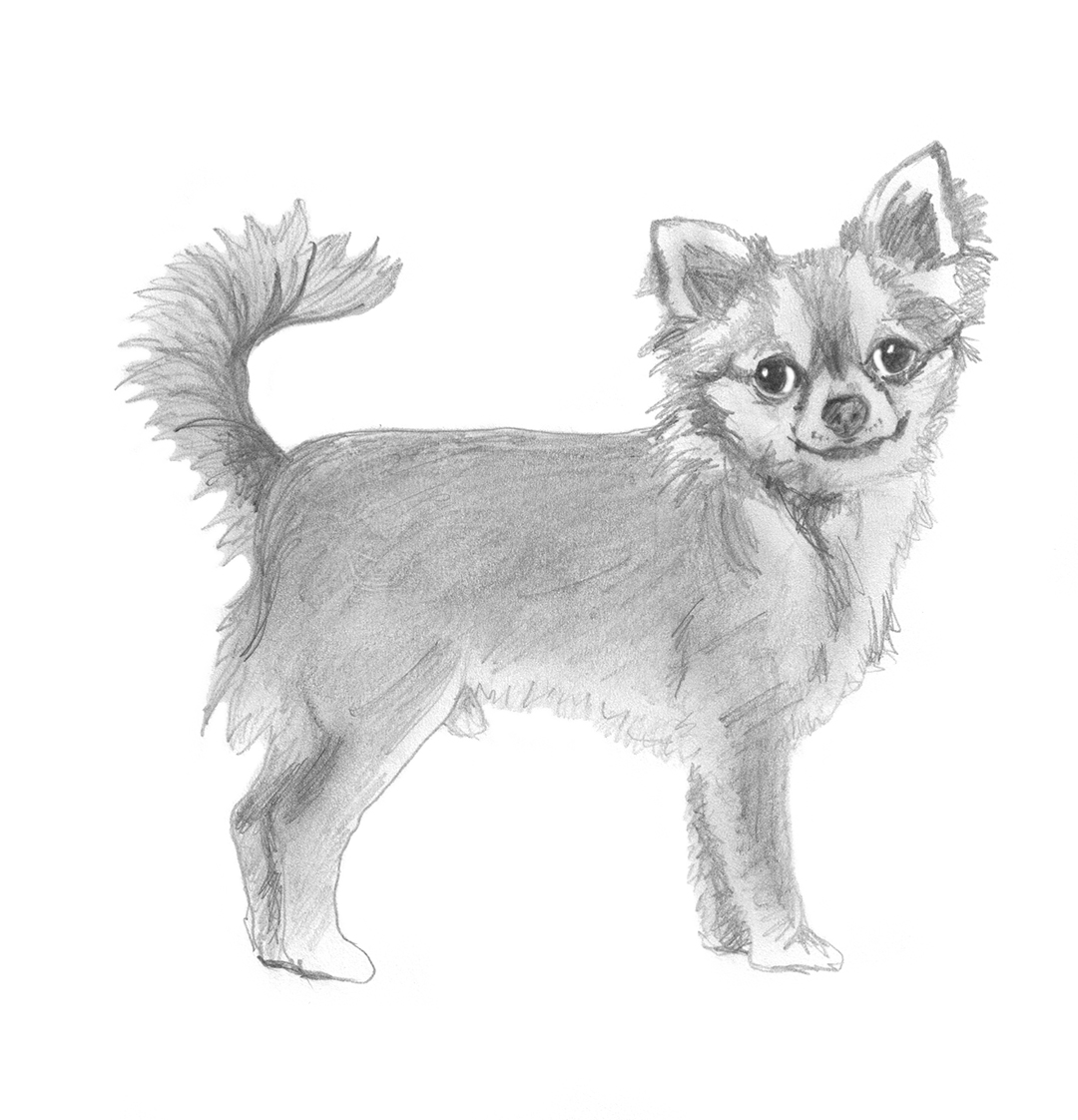 sketch of Chihuahua standing