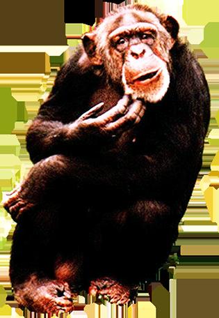 chimpanse clip art