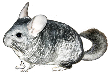 chinchilla clipart