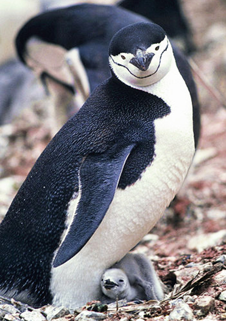 baby penguin with chinstrap mother penguin