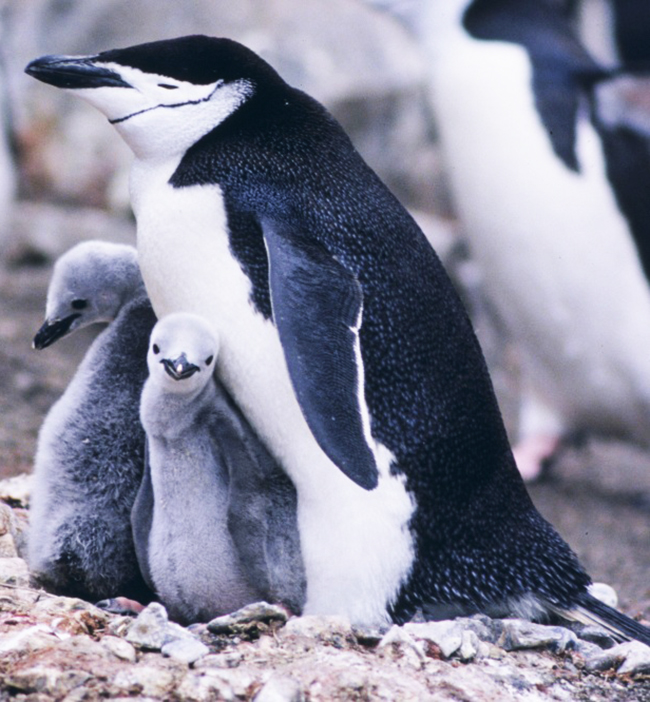 chinstrap penguin pictures with chicks