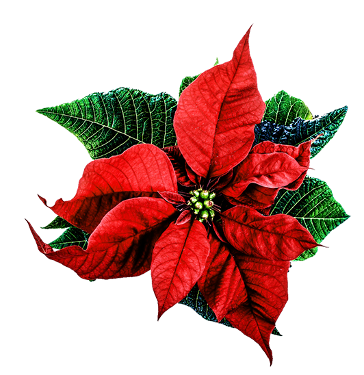 christmas clip art, Beautiful flower