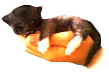 cat clip art kitten in hand