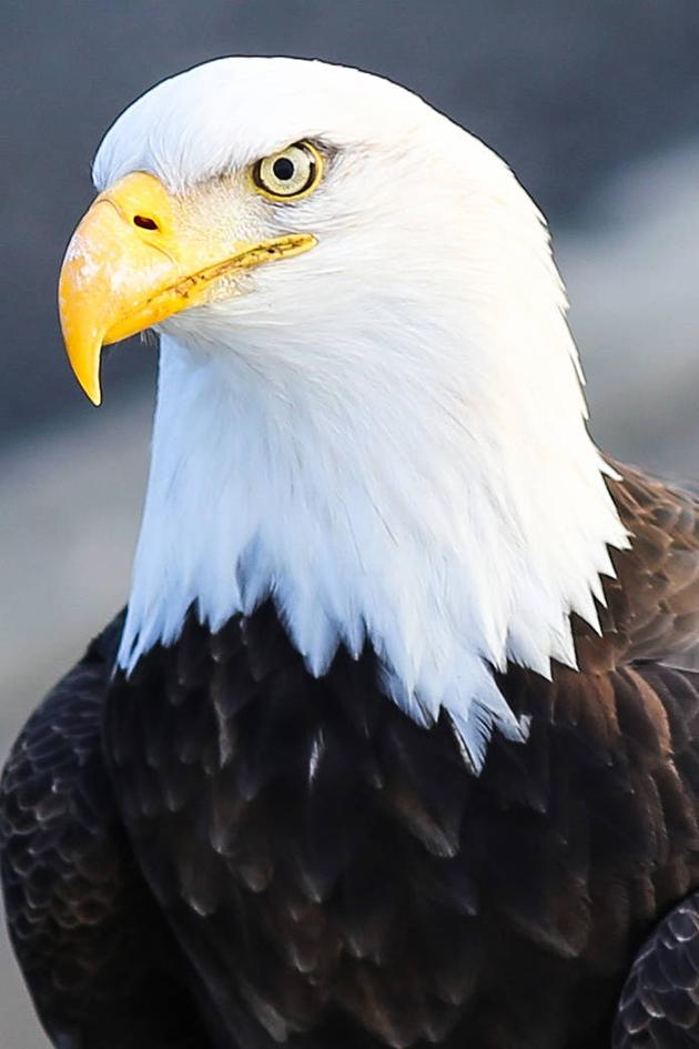 close up head of Bald Eagle