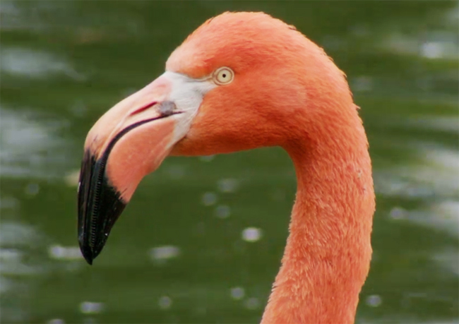 flamingo picture close up