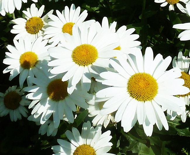 close up white daisies