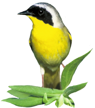clip art of common yellow throat