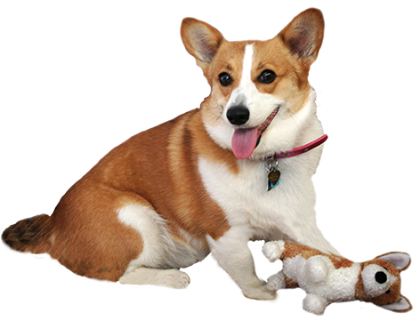 corgie with dog doll