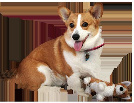 corgie with dog doll
