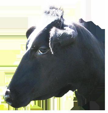 animal clip art cow head