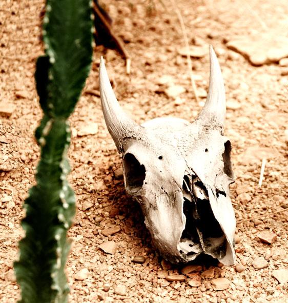 cow skull in desert