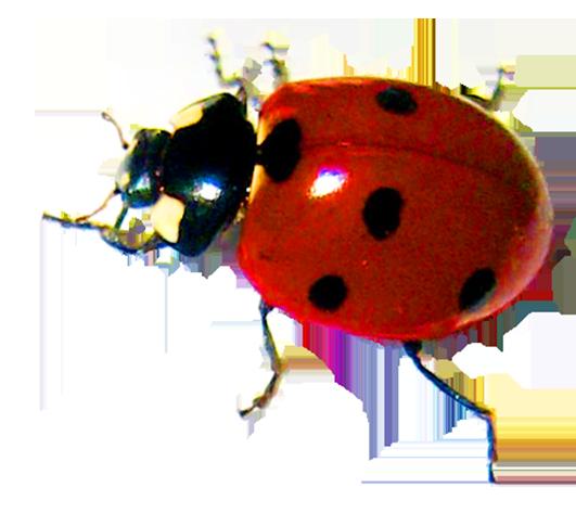 crawling ladybird beetle
