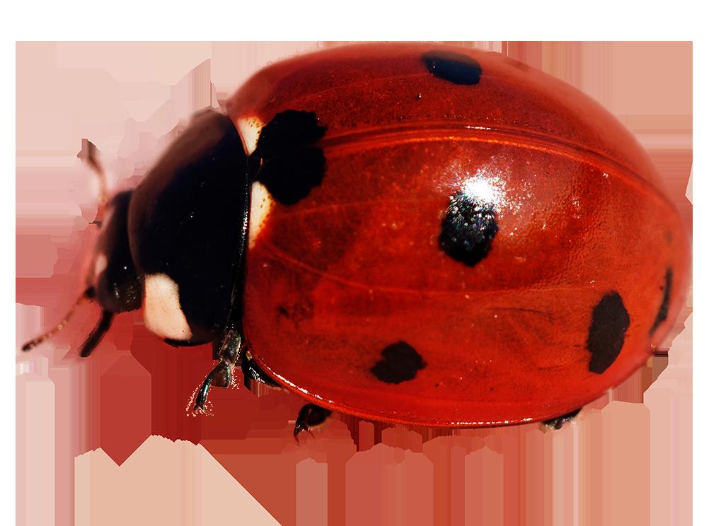crawling ladybug image