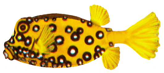 cube boxfish drawing