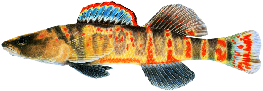 Cumberland arrow darter