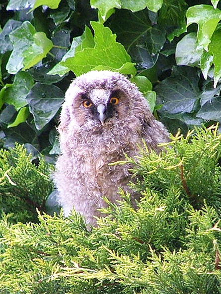 cute chick of Great horned owl