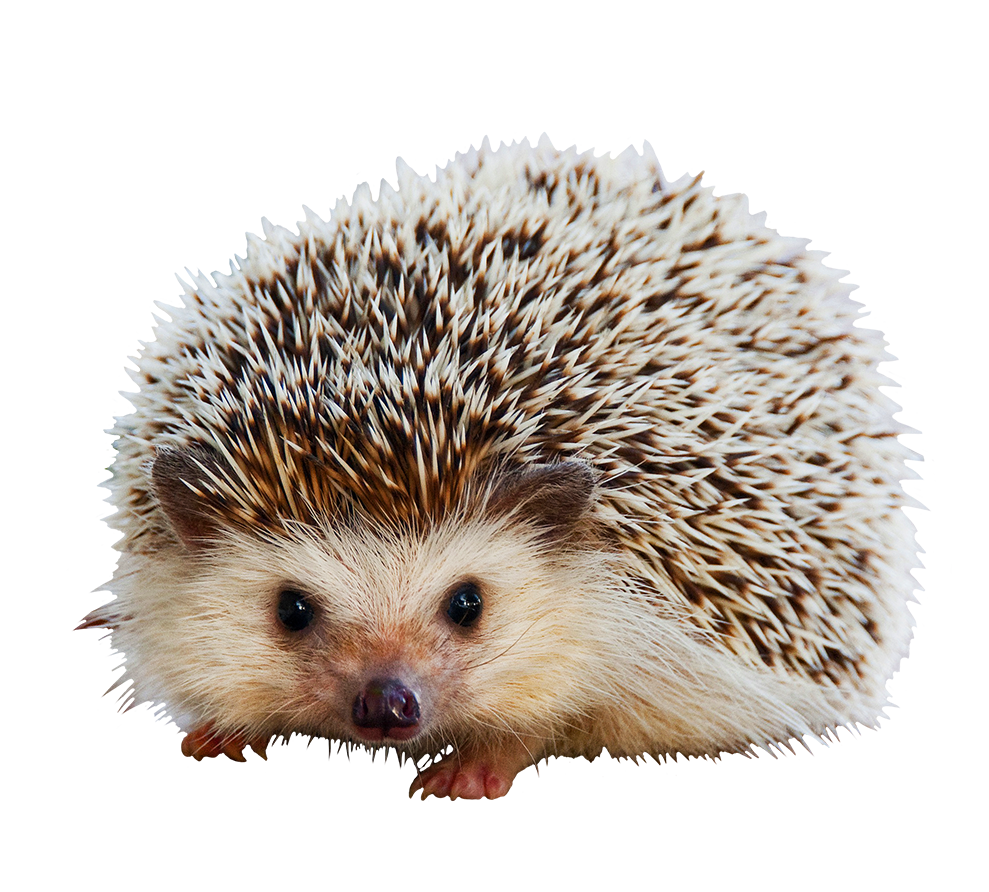 hedgehog clipart cute animal