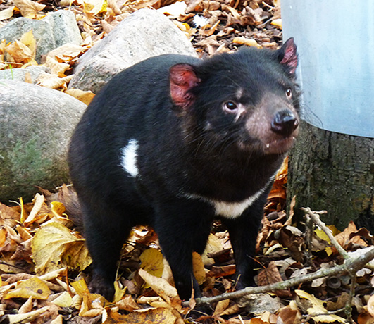 Cute looking Tasmanian devil
