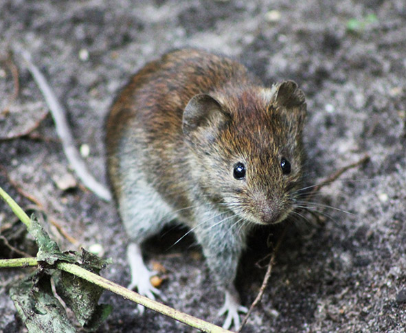 cute wood mouse