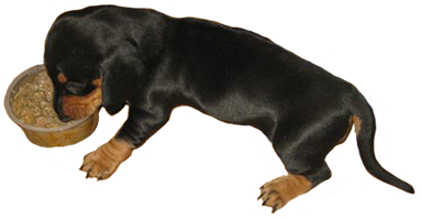 Dachshund eating clipart
