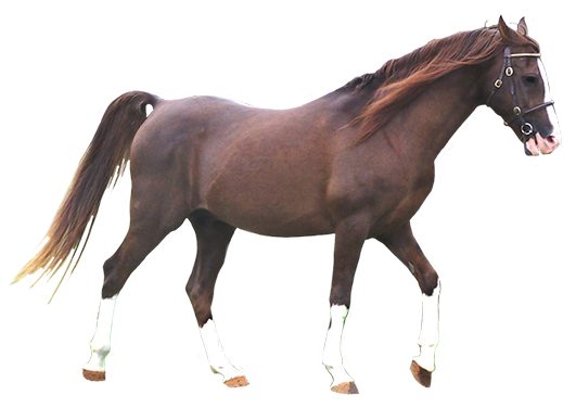 arabian horse dark chestnut