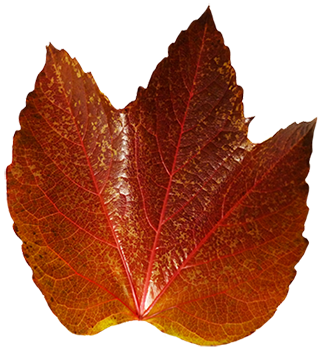 dark red autumn leaf