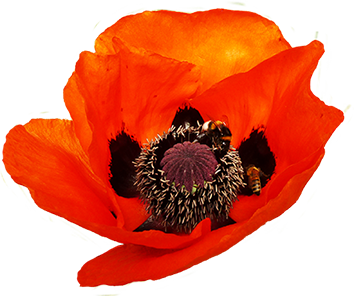 dark red poppy with two bees