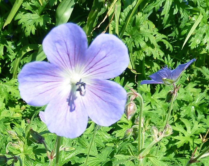 delicate blue flower