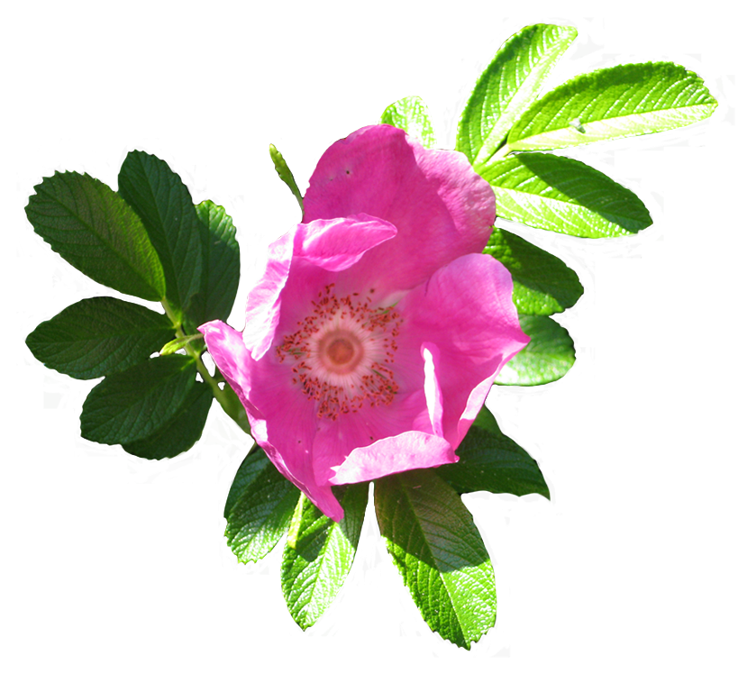 blooming dog rose image
