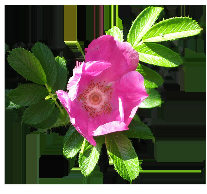 blooming dog rose image