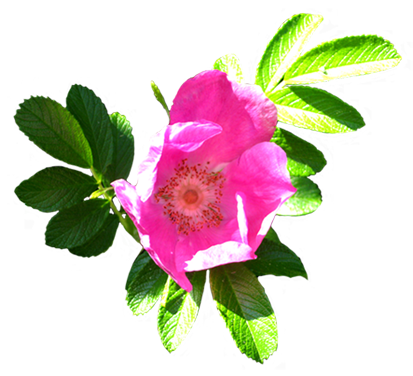 dog rose clip art