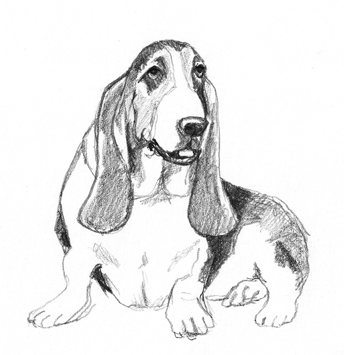 Pencil drawing of Basset hound