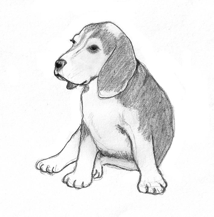 dog-sketh of Beagle puppy