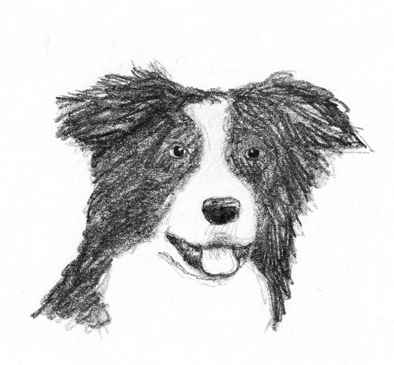dog sketches border collie