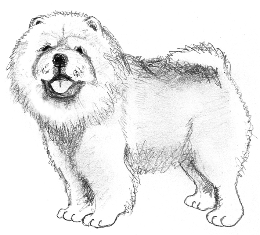 chow-chow dog sketches