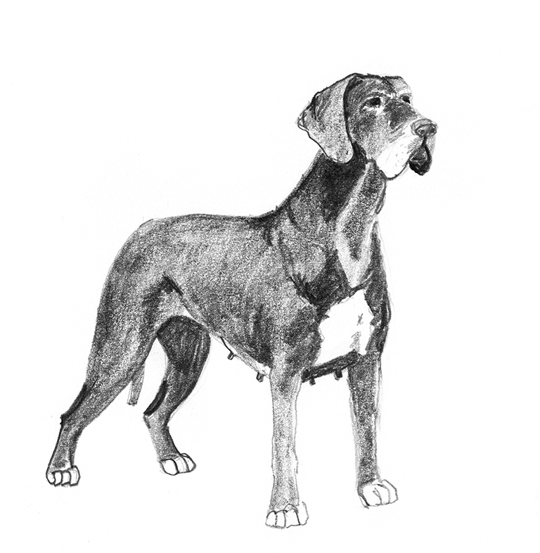 deutche dogge, dog sketches