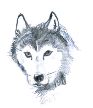 Husky head sketch