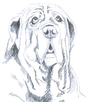 Mastino Napoletano dog sketches
