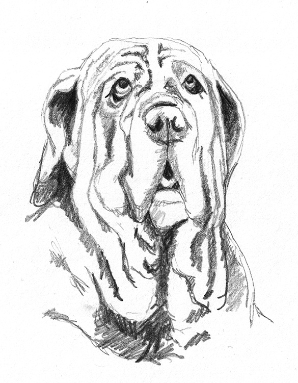 Mastino Napoletano sketch