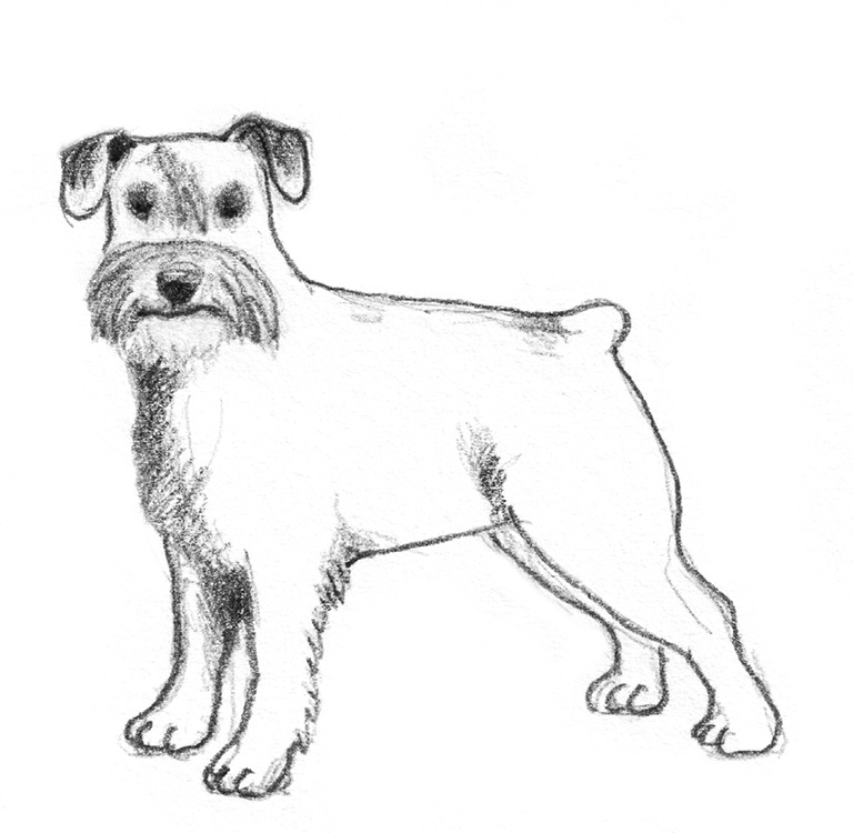 dog sketches schnautzer