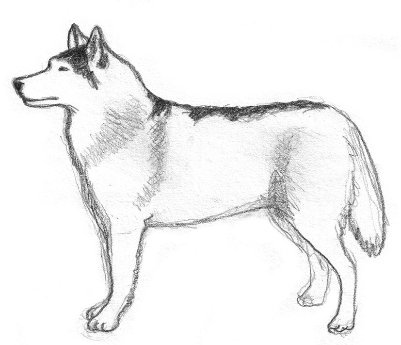 drawing of Siberian husky