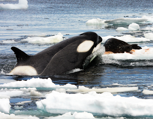 killer whale dolphin facts